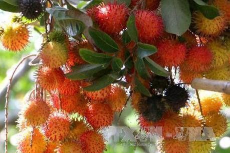 Trà Vinh: Trái cây đặc sản được mùa được giá, nhà vườn phấn khởi