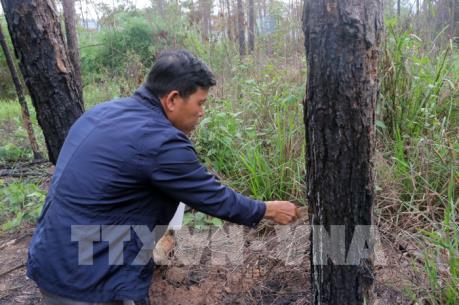 Vụ hàng ngàn cây thông ở Lâm Đồng bị hạ độc: Những khuất tất trong quản lý rừng ở Lâm Hà