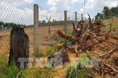 Tiếp tục xảy ra nhiều vụ phá rừng thông ở Lâm Đồng