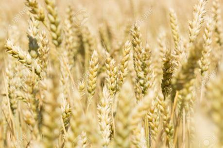 Australia sẽ phải nhập khẩu lúa mỳ từ Canada do hạn hán