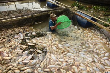 Gần 1.000 tấn cá chết trắng sông Là Ngà