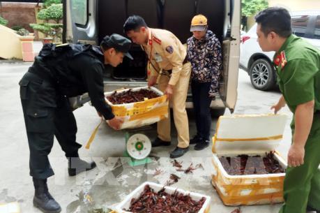 Lạng Sơn bắt giữ gần 50kg tôm hùm đất nhập lậu