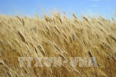 Giá các loại nông sản thế giới đồng loạt giảm mạnh trong tuần qua