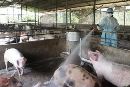 Có 48 tỉnh, thành trên cả nước xuất hiện dịch tả lợn châu Phi