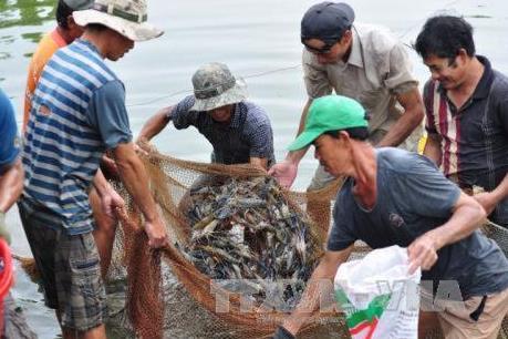 Giá tôm ở Trà Vinh tăng từ 5.000 đến 10.000 đồng/kg