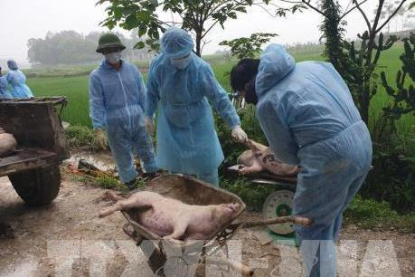 Hà Nội gặp rất nhiều khó khăn khi tiêu hủy lợn bị bệnh dịch tả