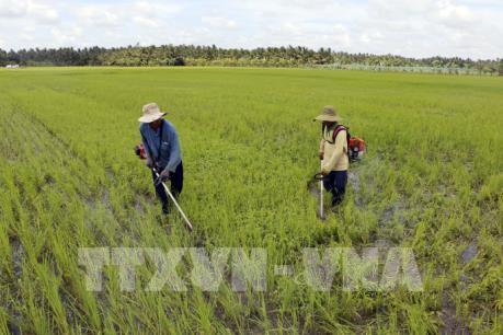 Hàng trăm hộ dân trồng lúa hữu cơ gặp khó vì doanh nghiệp ngừng tiêu thụ