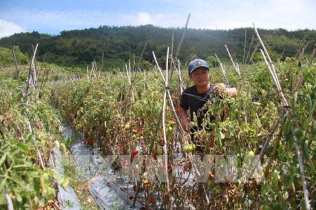 Hơn 3 ha cà chua chết bất thường, có dấu hiệu bị hạ độc bằng thuốc diệt cỏ