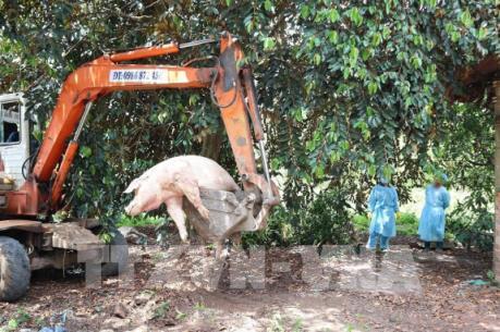 Cơ quan chức năng vớt và tiêu hủy số lợn chết do người dân vứt xuống suối