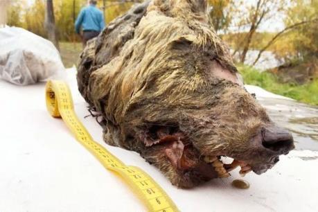 Phát hiện đầu chó sói 40.000 năm tuổi vẫn còn gần như nguyên vẹn