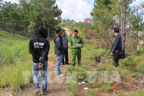 Lâm Đồng: Xác minh vụ chặt hạ rừng thông