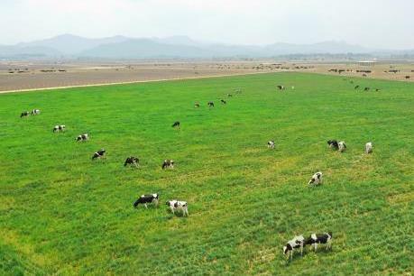 Hàng trăm tỷ đồng xây dựng trang trại bò sữa tại Quảng Ngãi