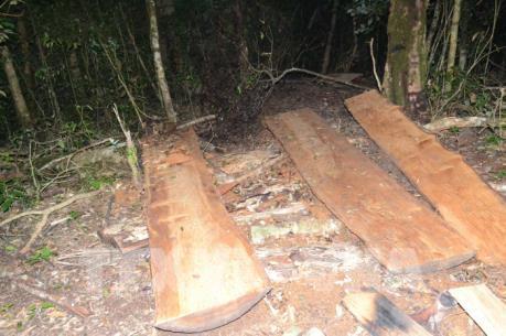 Xử nghiêm vụ khai thác trái phép gỗ Du Sam trong Khu bảo tồn thiên nhiên Nam Nung