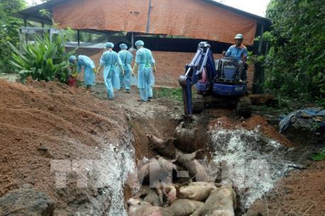 Bình Phước tiêu hủy lợn bị dịch tả châu Phi