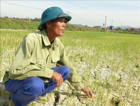 """Quảng Bình: """"Mưa vàng"""" cứu hàng nghìn ha lúa sắp chết khô"""