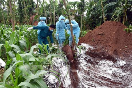 Phát hiện thêm ổ dịch tả lợn châu Phi tại Bà Rịa - Vũng Tàu