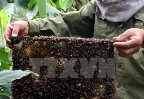 """Nuôi ong tự nhiên lấy mật: Nghề """"một vốn bốn lời"""""""