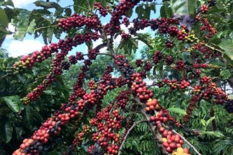 Giá cà phê có xu hướng tăng sau thời gian dài trầm lắng