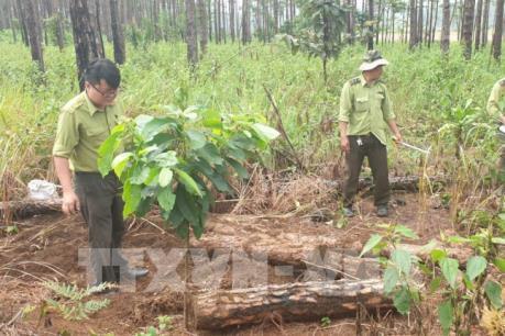 Hàng trăm khúc thông bị triệt hạ, chôn vùi dưới đất ở Lâm Đồng