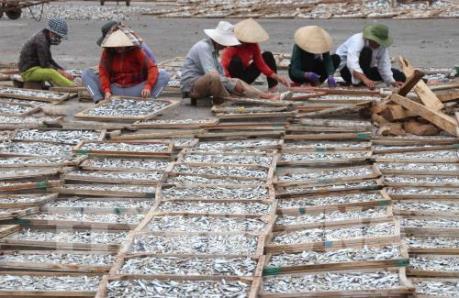 Quảng Trị tồn 750 tấn cá hấp phơi khô