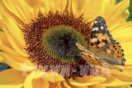 Hàng triệu con bướm sẽ di cư đến Anh mùa hè này