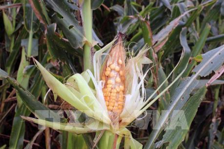 Bổ sung các loại thuốc phòng trừ sâu keo mùa thu