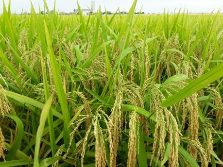 Giống lúa BC15 kháng đạo ôn sẽ có mặt từ vụ Đông Xuân 2019-2020
