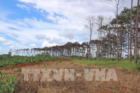 """Lâm Đồng: Tái diễn nạn """"bức tử"""" rừng thông quy mô lớn"""