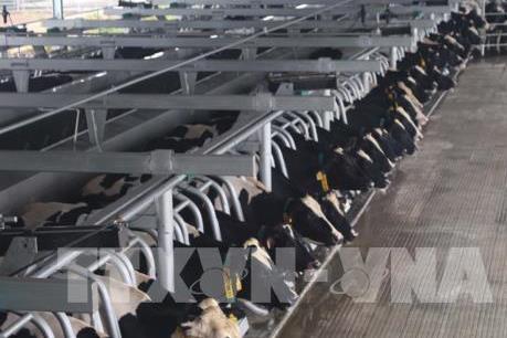 TH True MILK đặt mục tiêu mở rộng đàn bò sữa lên 200.000 con