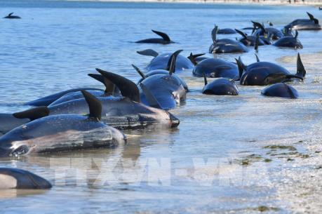 Đàn cá voi chết do mắc cạn bí ẩn ở bờ biển Iceland