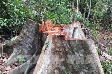 Lâm tặc tàn phá rừng đầu nguồn Trà Kót