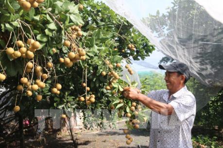Nhãn nghịch mùa giá cao, nông dân lãi lớn