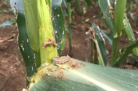 Hướng dẫn nông dân cách phòng trừ sâu keo mùa thu hiệu quả