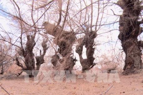 Hàng trăm hecta rừng phòng hộ tại Phú Yên bị khô và chết