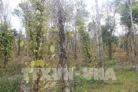 Quảng Trị: Hạn hạn khiến nhiều diện tích trồng tiêu bị vàng lá và chết