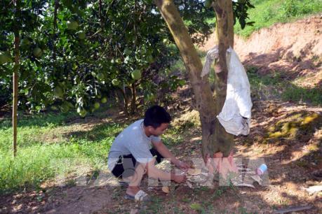 Điều tra vụ việc phá hoại vườn bưởi của người dân ở xã Thắng Quân