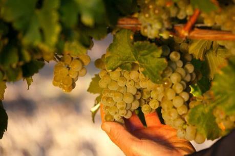 Biến đổi khí hậu tác động bất lợi đến ngành rượu vang Australia