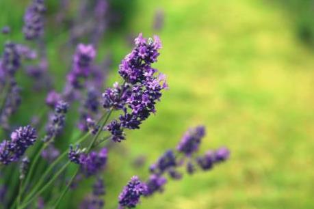 Lãng mạn sắc tím Lavender