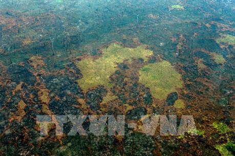 Loài cây cao nhất rừng Amazon may mắn sóng sót qua hỏa hoạn