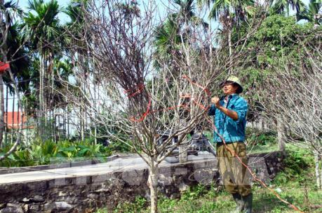 Những vườn đào đơm hoa từ vốn tín dụng chính sách