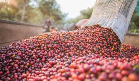 Conab: Sản lượng cà phê Brazil sẽ giảm 20,5% trong năm 2019