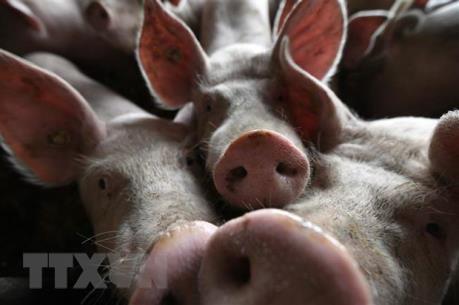 Nhật Bản phát hiện trường hợp nhiễm virus dịch tả lợn châu Phi ở tỉnh Gifu