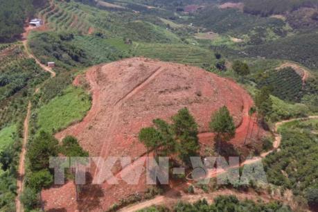 Rừng thông 20 năm tuổi tại Lâm Hà tiếp tục bị đốn hạ