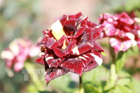 Khởi nghiệp thành công từ trồng hoa hồng ngoại