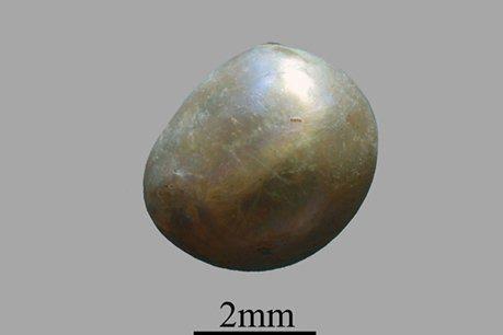 Sắp trưng bày ngọc trai lâu đời nhất thế giới tại Triển lãm 10.000 năm xa hoa