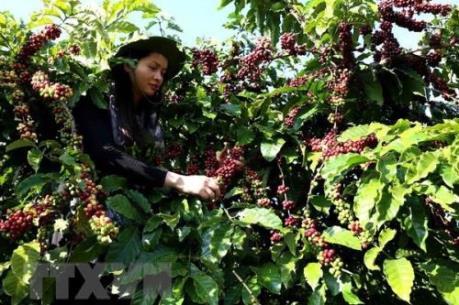 Brazil và Việt Nam củng cố vị thế trên thị trường cà phê quốc tế