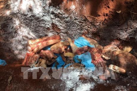 Tiêu hủy hơn 1,5 tấn thịt lợn bẩn