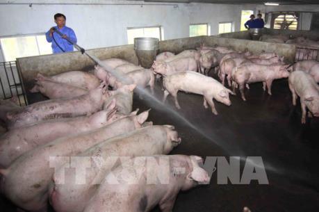 Nhiều hộ nuôi ở Bạc Liêu đua nhau tái đàn khi giá lợn tăng mạnh