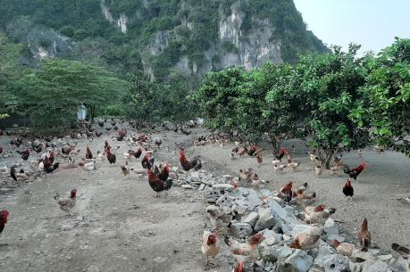 Liên kết chăn nuôi gia cầm để phát triển bền vững