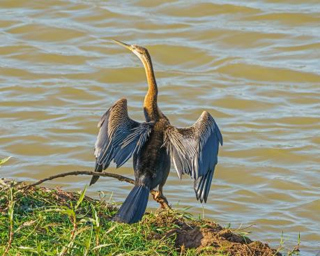 Phát hiện đàn chim cổ rắn quý hiếm tại Đồng Nai
